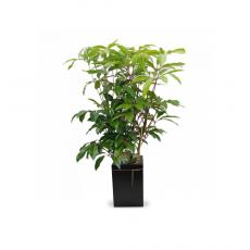 관엽식물-대엽홍콩-101