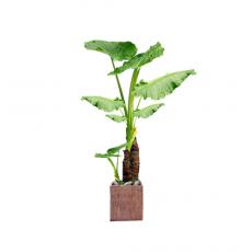 관엽식물-알로카시아-74