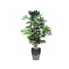 관엽식물-팔손이-86