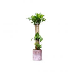 관엽식물-칼라행운목-93