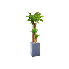 관엽식물-괴목-95