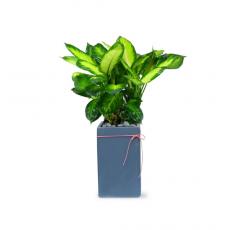 관엽식물-마리안느-60(판매중지)